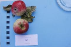 Stare drzewa owocowe Skwierzyna, 48