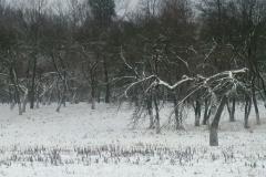 Pobieranie zrazów starych odmian drzew owocowych. Prace poszukiwawcze i pozyskiwanie. 2013.
