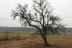 Pobieranie zrazów starych odmian drzew owocowych. Prace poszukiwawcze i pozyskiwanie. 2016.