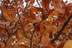 Stare odmiany drzew owocowych. Firma Leszek Kułak