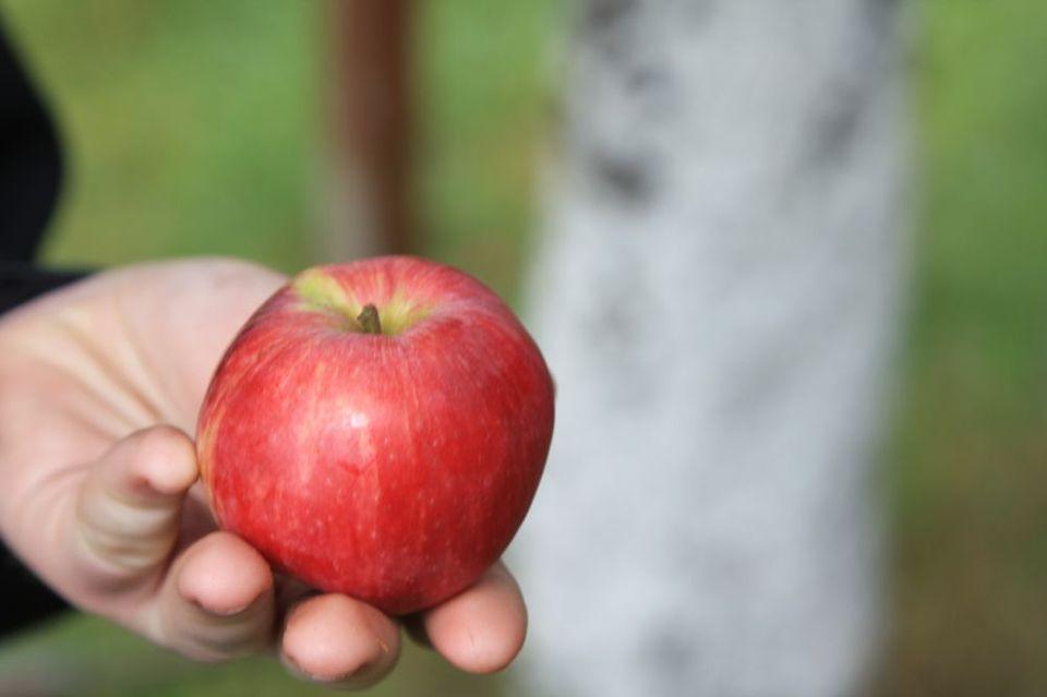 Firma Leszek Kułak zakładanie sadu starych odmian drzew owocowych